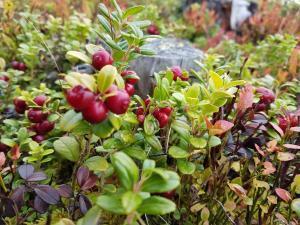 Tyttebær finner vi nesten hvert år i Hedalen. Foto: Arne Heimestøl