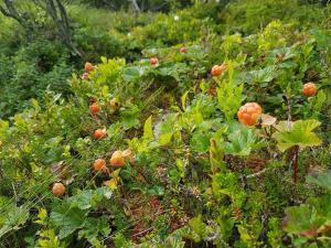 Det hender at den som leter etter skogens gull, finner slike forekomster. Foto: Arne Heimestøl