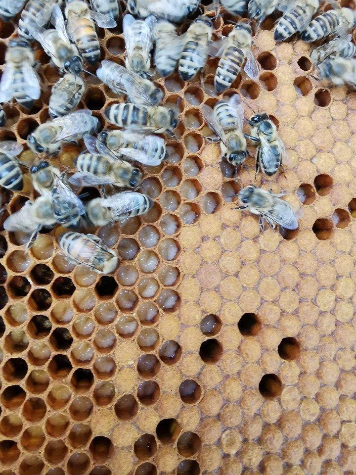 Her ser man larver som amme-biene tar hånd om frem til de lukkes (de mørke partiene) – der de ligger til de kryper som nye bier
