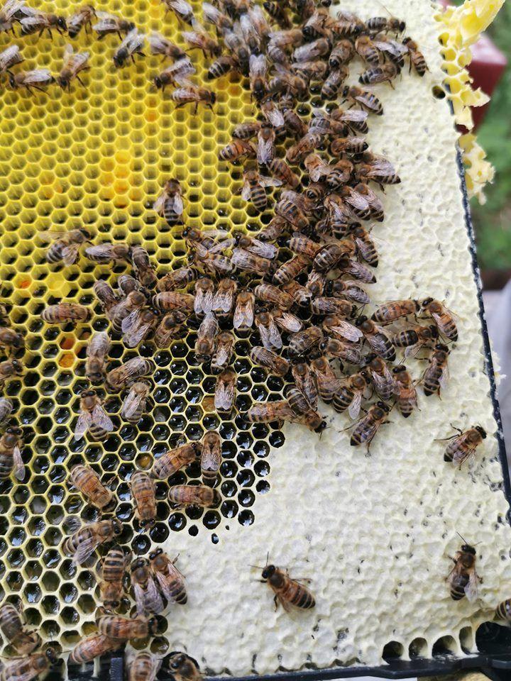 Biene samler honning, tørker og lukker den.