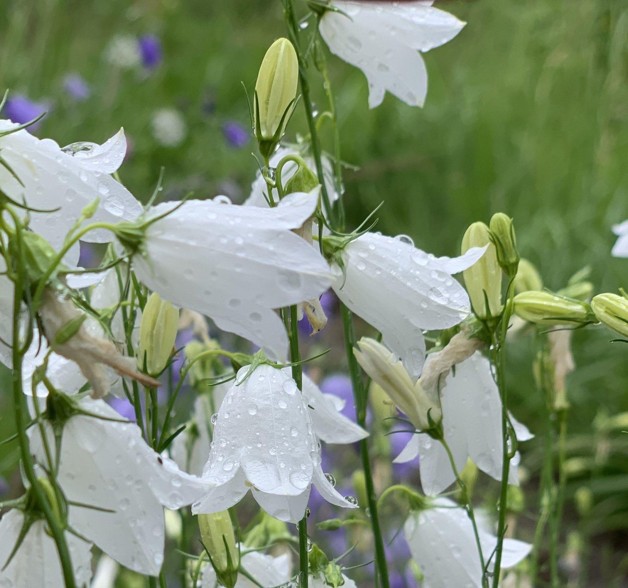 Hvite blåklokker. Foto: Solveig Lie