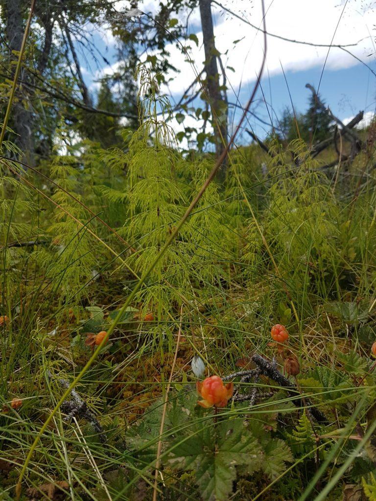 Molter trives godt i slik vegetasjon.