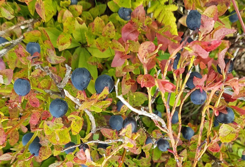 Flotte blåbær