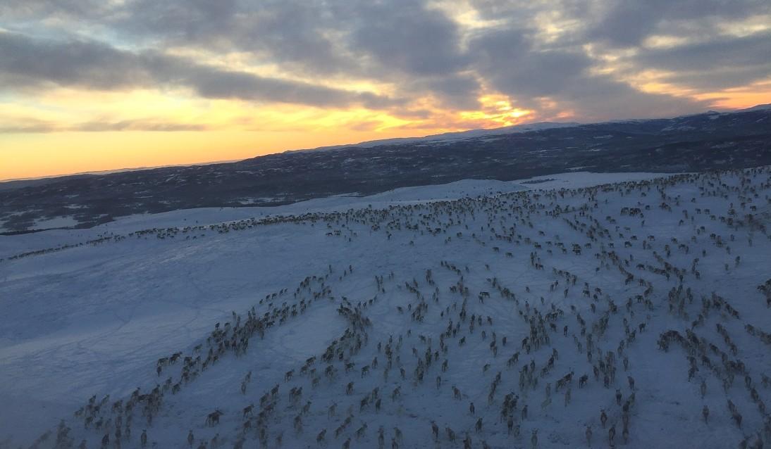 Reinsdyr i Hedalsfjella
