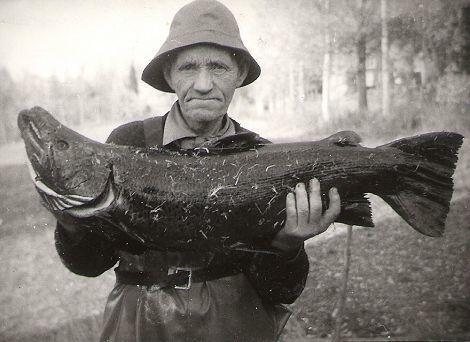 Storfisk fanga i Strøen rundt 1950