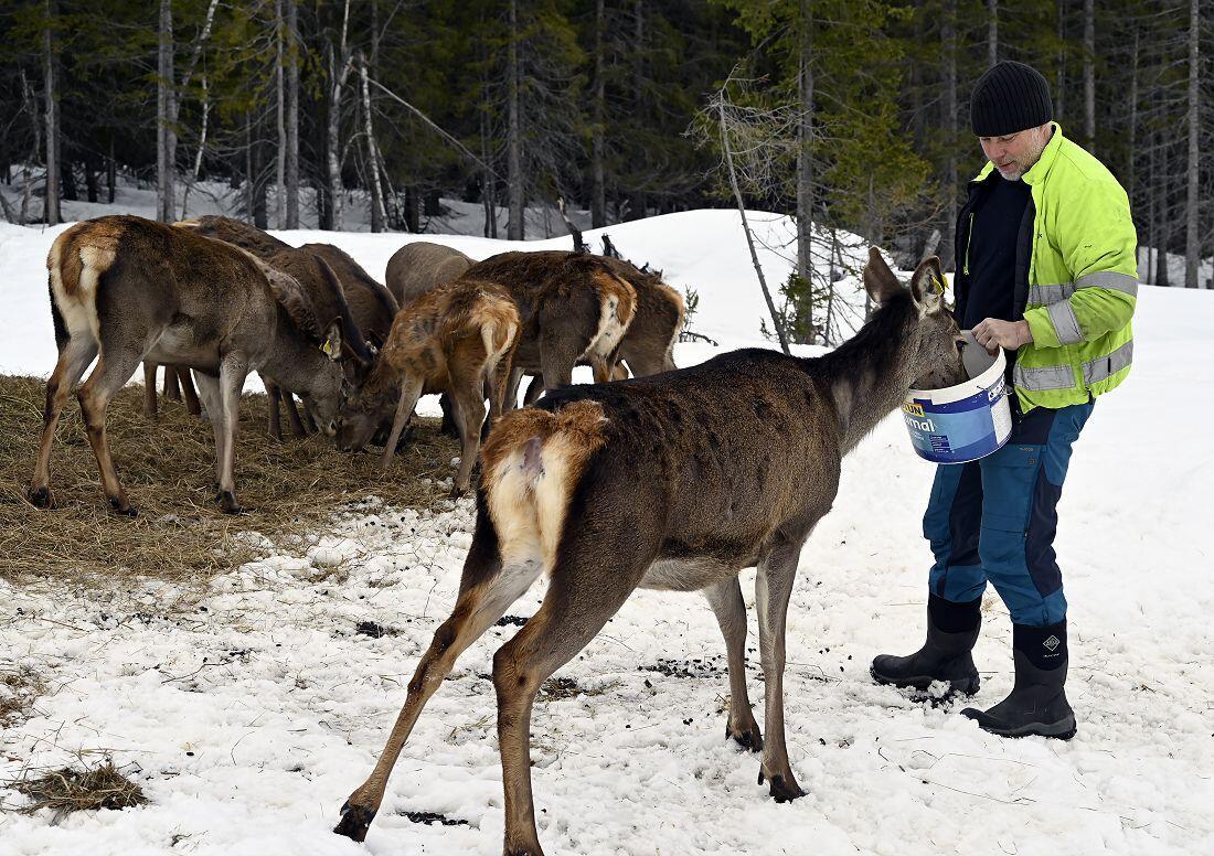 Hjortene har blitt godt vant til kontakt med eierne. Foto: Arne G. Perlestenbakken