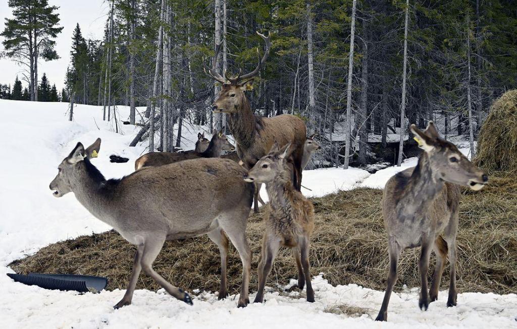 Hjortefarm på Jordet i Hedalen. Foto: Arne G. Perlestenbakken