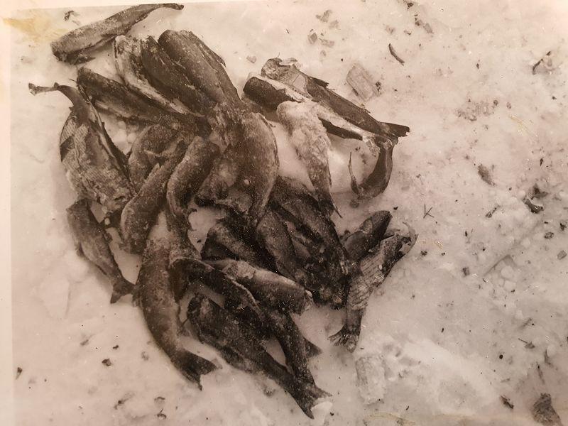 Ørretfangsten vi fikk på isen i Suluvann. Ca. 4 kilo renset fisk