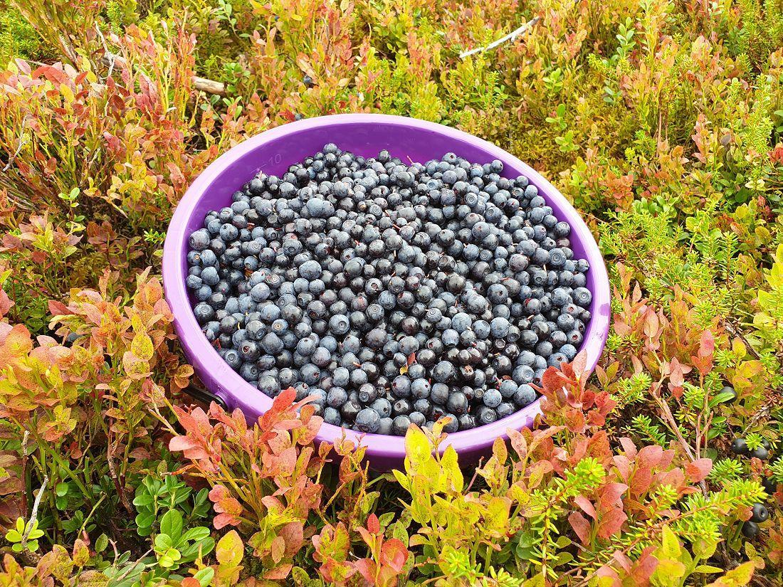 Flotte blåbær. Foto: Kjell Hallvard Flø
