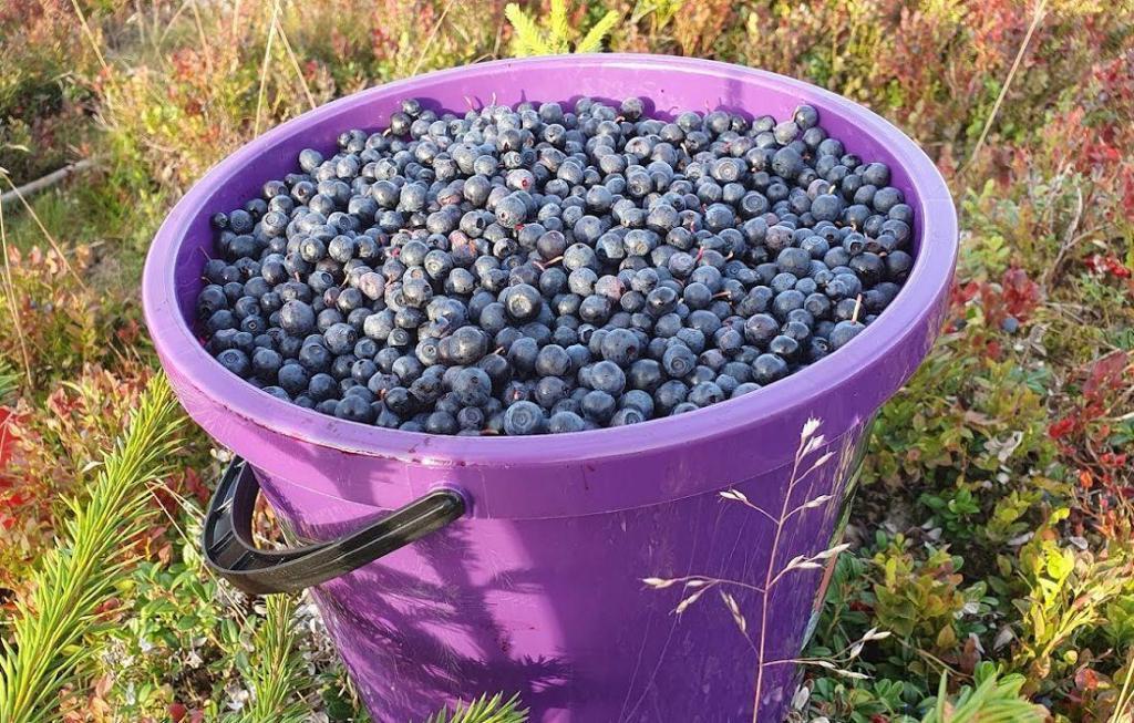 Fine blåbær